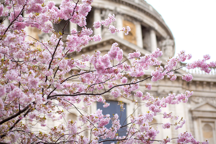 cherry blossom, cherry blossom trees, cherry blossom in london, london cherry blossom, london cherry blossom trees, where to see cherry blossom in london, where to find cherry blossom in london, spring in london, london in spring, the best london cherry blossom for instagram, where to instagram cherry blossom in london, london's cherry blossom instagram spots, where to take photos of cherry blossom in london, battersea park, regents park, st jamess park, greenwich park, kenwdood house, kew gardens, kyoto gardens, holland park, sakura, japanese sakura, sakura season, cherry blossom season, st pauls cathedral, herne hill, kensington gardens