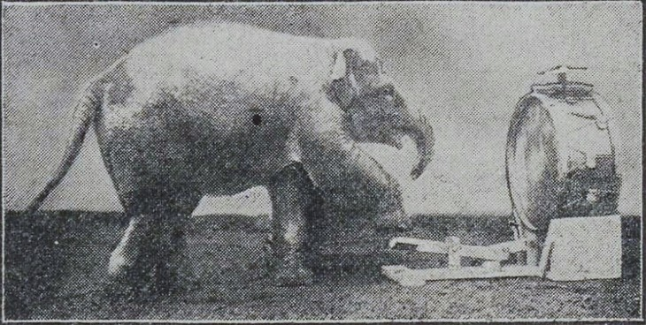 Drumming elephant.