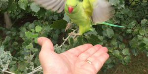 Are London's Parakeets Going To Be Culled?
