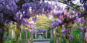 Where To See Wisteria In Bloom In London This Season