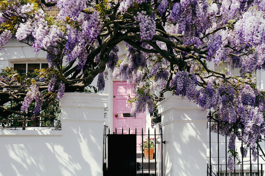 wisteria, wisteria in london, where to see wisteria in london, wisteria spots in london, wisteria hysteria in london, wisteria hysteria, wisteria season, wisteria in bloom, when to see wisteria in london, wisteria houses in london, good wisteria in london