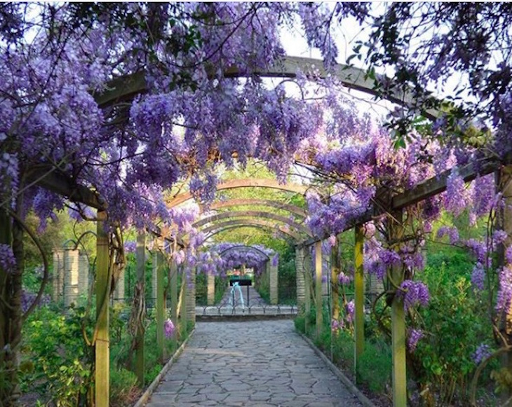 882b5723e6e Where To See Wisteria In Bloom In London This Season