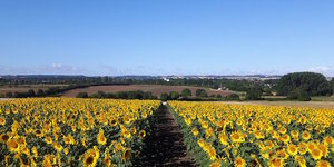 5 Dazzling Yellow PYO Sunflower Farms Near London: Summer 2019