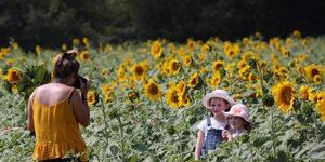 5 Dazzling Yellow PYO Sunflower Farms Near London: Summer 2019