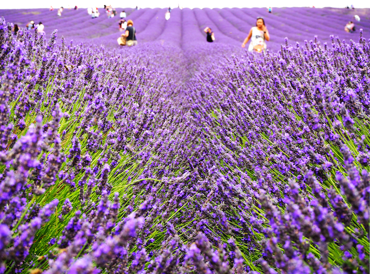 lavender, lavender fields, lavender farms, london, london lavender fields, london lavender farms, near london, in london, outside london, where to see lavender, london lavender fields instagram, london lavender farm instagram, mayfield lavender farm, castle farm lavender, hitchin lavender, the lavender fields at hartley park farm, purple, purple fields, purple fields instagram, lavender farm london instagram, lavender farm near london, lavender field near london