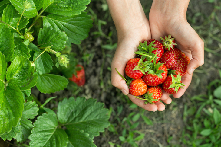Where to pick your own fruit near london: pyo strawberry fields and farms near london