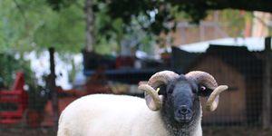 Baa-vellous News! Sheep Will Graze On Hampstead Heath This Week