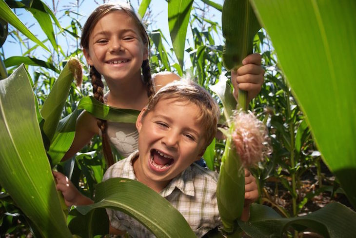 mazes, maize mazes, hedge mazes near london for a day trip: maize maze at new house farm, west sussex
