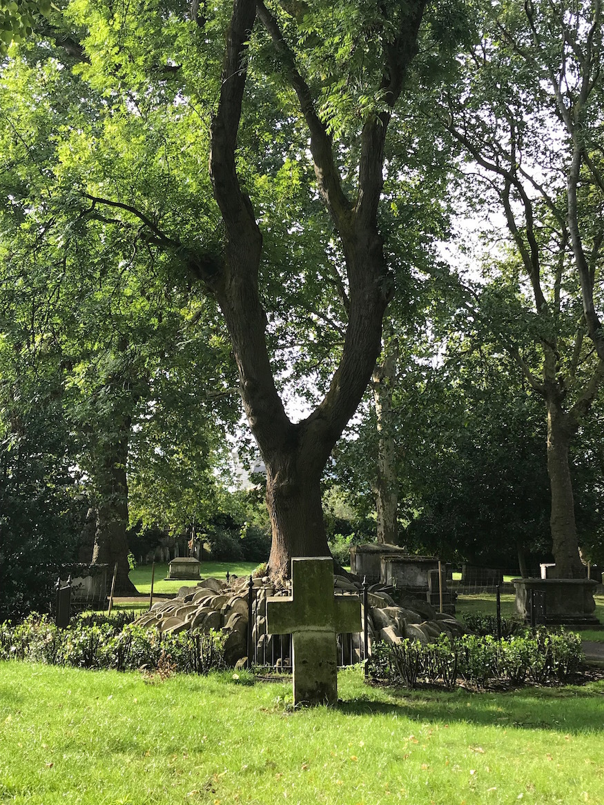 Ash tree in St Pancras churchyard