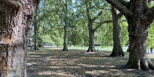 Spotted This Hidden Ring Of Plane Trees In Green Park?