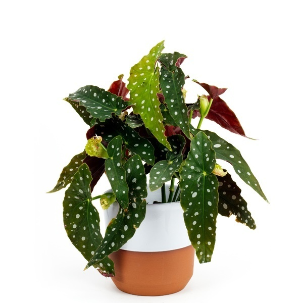 A potted begonia maculata